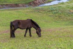 Un potro del marrón oscuro pasta la hierba en la granja Foto de archivo