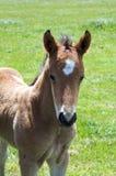 Un potro joven del caballo, potra que se coloca en un campo Imágenes de archivo libres de regalías