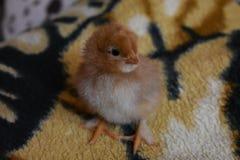 Un poulet d'un jour Photographie stock