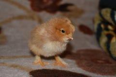Un poulet d'un jour Photos libres de droits