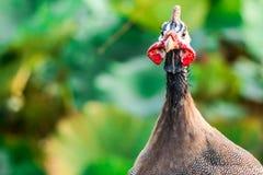 Un poulet dans une ferme Photo stock