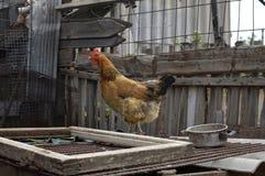 Un poulet marche photo stock