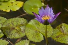 Un pourpre Lotus de fleur Images libres de droits