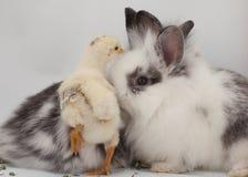Un poussin de bébé et deux lapins de bébé sont montrés sur un fond blanc image stock
