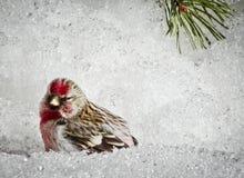 Un poussin de flammea de Carduelis de redpoll avec le mâle rouge de sein s'asseyant dans la neige au printemps Avec l'espace de c images stock