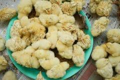 Un poussin de groupe à la ferme photos stock