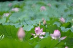 Un pozo floreció flor de loto rosada que se destacaba Fotos de archivo