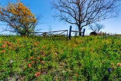 Un pré avec Hay Bales rond et Texas Wildflowers frais image stock