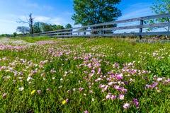 Un prado cubierto con Texas Pink Evening o los Wildflowers llamativos de la onagra Fotos de archivo