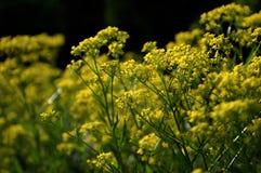Un prado de flores amarillas foto de archivo
