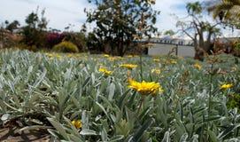 Un prado hermoso de la flor en Gran Canaria Imagen de archivo