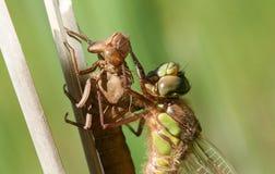 Un pratense velu non mûr fraîchement émergé de Brachytron de libellule étant perché sur un roseau avec son exuvium Images libres de droits