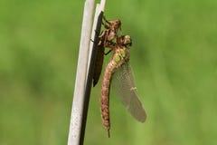Un pratense velu non mûr fraîchement émergé de Brachytron de libellule étant perché sur un roseau avec son exuvium Photo stock