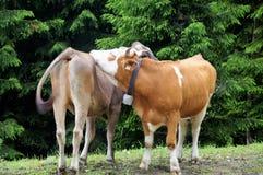 Un prato Austria di due mucche immagini stock libere da diritti