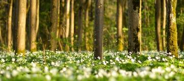 Un prato in una foresta in pieno dei fiori sboccianti di bianco Immagine Stock