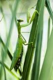 Un predicador verde en un tallo de la hierba imagenes de archivo