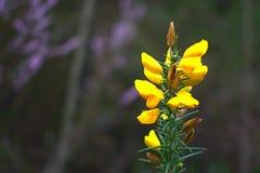 Un primer amarillo alto de la flor fotografía de archivo