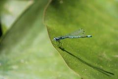 Un primer azul de la libélula en una hoja del lirio de agua en la charca Fotografía de archivo