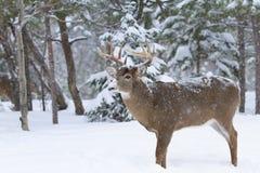 Un primer Blanco-atado del dólar de los ciervos en la nieve del invierno durante la rodera del otoño en Ottawa, Canadá fotos de archivo libres de regalías