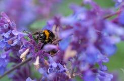 Un primer de un abejorro del verano que recoge el polen de una púrpura Imágenes de archivo libres de regalías