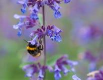 Un primer de un abejorro del verano que recoge el polen de una púrpura Fotografía de archivo libre de regalías