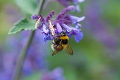 Un primer de un abejorro del verano que recoge el polen de una púrpura Fotos de archivo
