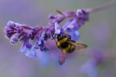 Un primer de un abejorro del verano que recoge el polen de una púrpura Foto de archivo libre de regalías
