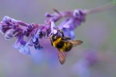 Un primer de un abejorro del verano que recoge el polen de una púrpura Imagen de archivo libre de regalías