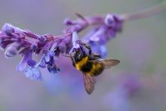 Un primer de un abejorro del verano que recoge el polen de una púrpura Imagen de archivo
