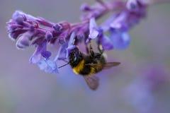 Un primer de un abejorro del verano que recoge el polen de una púrpura Fotografía de archivo