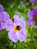 Un primer de un abejorro que recoge el polen del ROS salvaje violeta Imagen de archivo