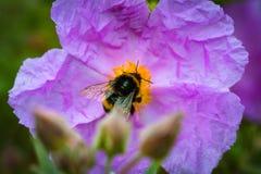 Un primer de un abejorro que recoge el polen del ROS salvaje violeta Fotografía de archivo libre de regalías
