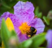 Un primer de un abejorro que recoge el polen del ROS salvaje violeta Foto de archivo