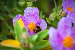 Un primer de un abejorro que recoge el polen del ROS salvaje violeta Fotografía de archivo