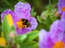 Un primer de un abejorro que recoge el polen del ROS salvaje violeta Imagen de archivo libre de regalías