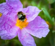 Un primer de un abejorro que recoge el polen del ROS salvaje violeta Imágenes de archivo libres de regalías