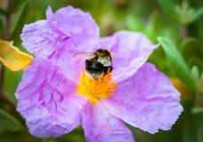 Un primer de un abejorro que recoge el polen del ROS salvaje violeta Fotos de archivo libres de regalías