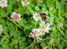 Un primer de un abejorro que recoge el polen de prado por completo de Imagenes de archivo