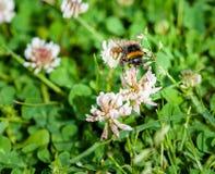 Un primer de un abejorro que recoge el polen de prado por completo de Fotos de archivo