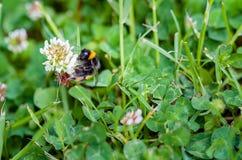 Un primer de un abejorro que recoge el polen de prado por completo de Imagen de archivo libre de regalías