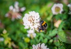Un primer de un abejorro que recoge el polen de prado por completo de Imágenes de archivo libres de regalías
