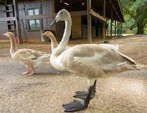Un primer de un cisne de trompetista que seduce en el verano foto de archivo libre de regalías