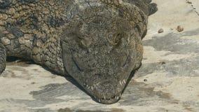 Un primer de un cocodrilo enorme que se enfría en la tierra en un día soleado almacen de metraje de vídeo