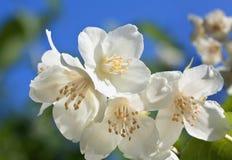 Un primer de la flor de la planta del jazmín Fotografía de archivo libre de regalías