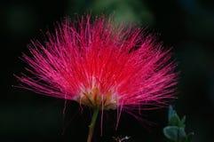 Un primer de la flor persa del árbol de seda Foto de archivo