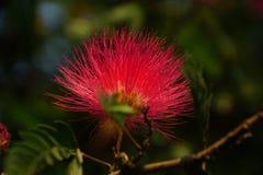 Un primer de la flor persa del árbol de seda Imágenes de archivo libres de regalías