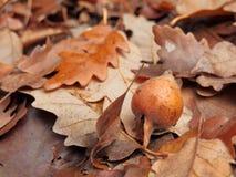 Un primer de la fruta inmadura del níspero caida en la tierra sobre marrón del otoño se va imagen de archivo