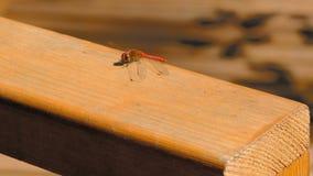 Un primer de la libélula sienta la reclinación almacen de metraje de vídeo