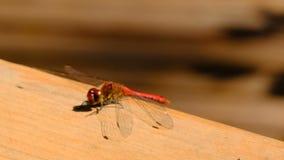 Un primer de la libélula sienta la reclinación metrajes