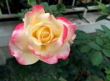 Un primer de la rosa amarillo-rosada de la floración en el jardín fotografía de archivo libre de regalías